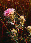 Bull Thistle, Cirsium vulgare, coated with morning dew, Shark Valley, Everglades National Park, Florida.