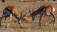 Springbok sparring, Nxai Pan National Park, Botswana.