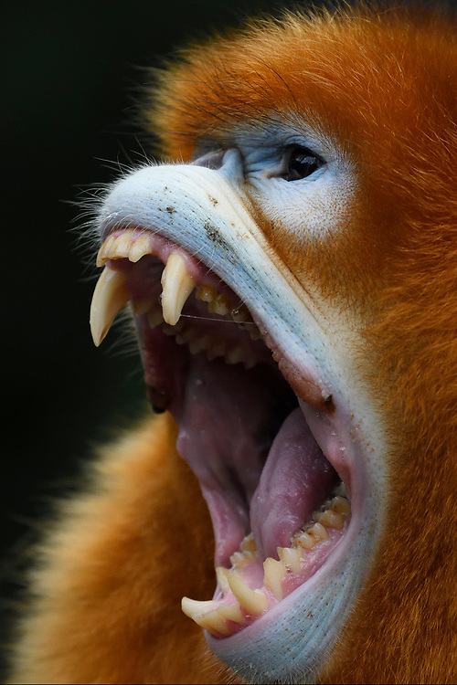 A vertical portrait of a Sichuan Golden Snub-nosed Monkey, Rhinopithecus roxellana, is showing his teeth while screaming at the Yangxian Nature Reserve, Shaanxi, China