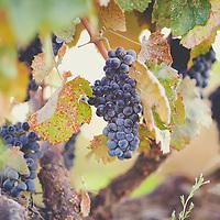 Hannah Nicole Vineyards Merlot Harvest