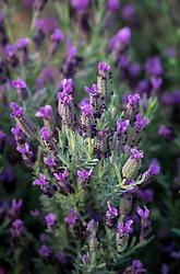 Lavandula stoechas 'Sancho Panza' -  French or Spanish lavender