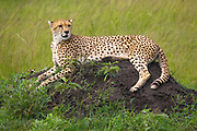 Cheetah resting on rocks in the Serengeti, Tanzania