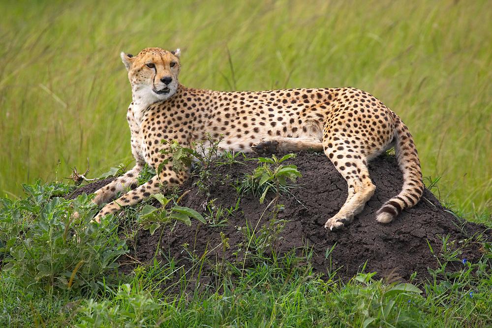Cheetah resting on rocks in the Serengeti, Tanzania