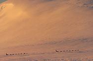 Dog sledding tour with The Silent Way, Vindelfjällen National Park, Västerbotten, Lapland, Sweden. Ecotourism.
