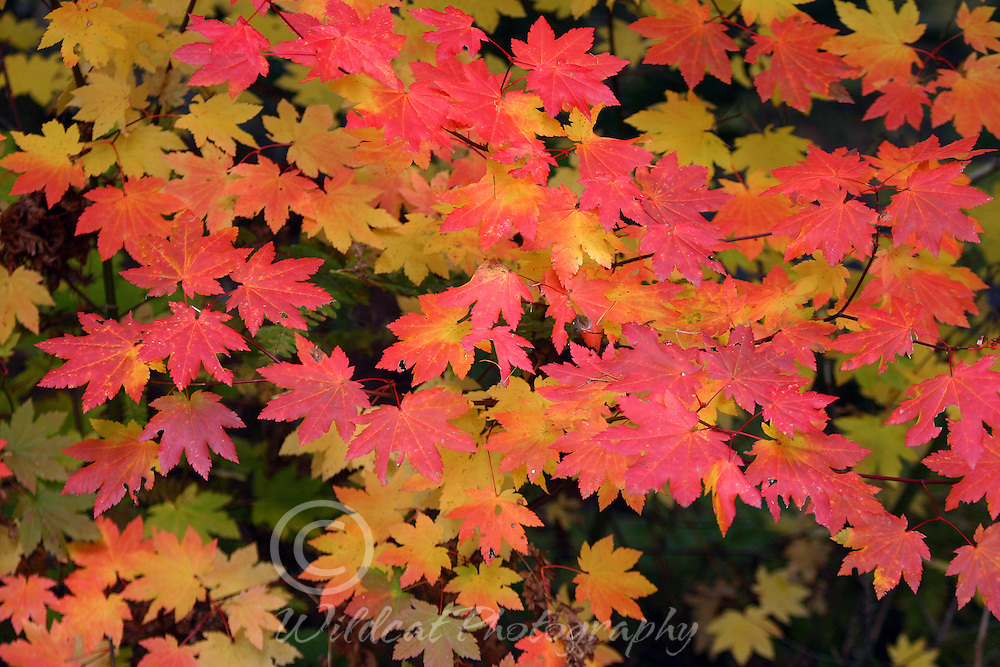 Vine Maples in October