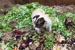 Tiggy the dog foraging on the compost heap