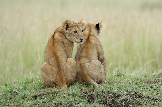 African Lion (Panthera leo)  Cubs resting. Masai Mara National Park. Kenya. Africa.