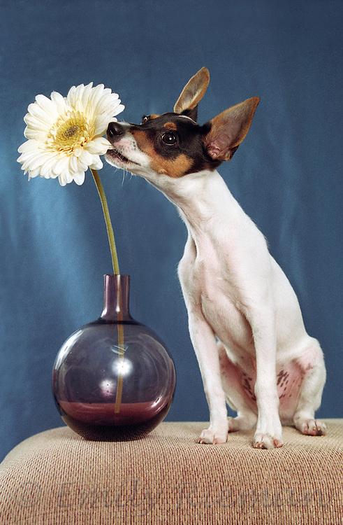 Rat terrier biting flower