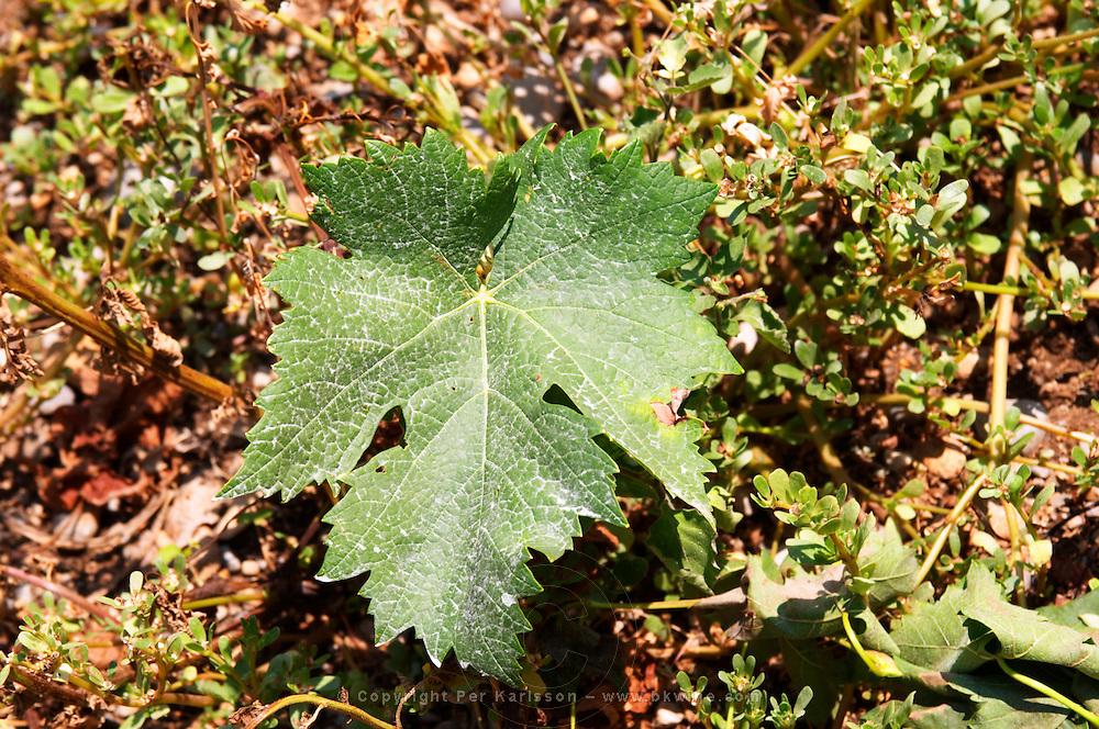 Vine leaf. Tempranillo grape variety. Kantina Miqesia or Medaur winery, Koplik. Albania, Balkan, Europe.