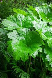 Darmera peltata AGM syn. Peltiphyllum peltatum - Umbrella plant, Indian rhubarb, Giant cup