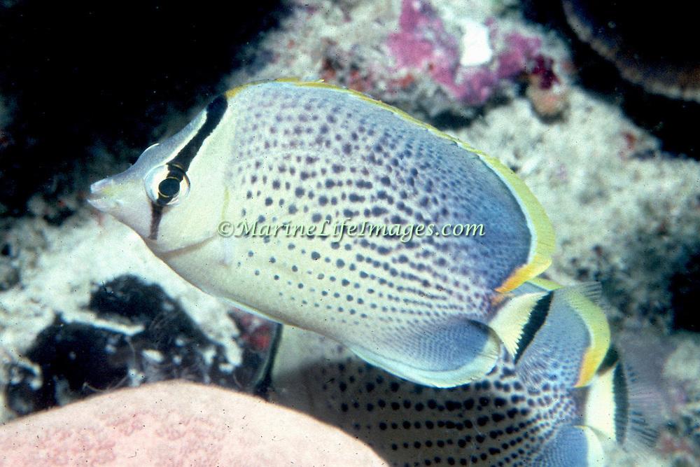 Spotted Butterflyfish inhabit reefs. Picture taken Bali.