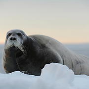 Bearded Seal resting on pack ice near Svalbard, Norway