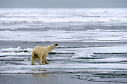 Polar bear and melting ice  at 82 degrees north off Svalbard, Norway.