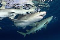 Lemon Sharks at the surface at sunset<br /> Shot in Bahamas