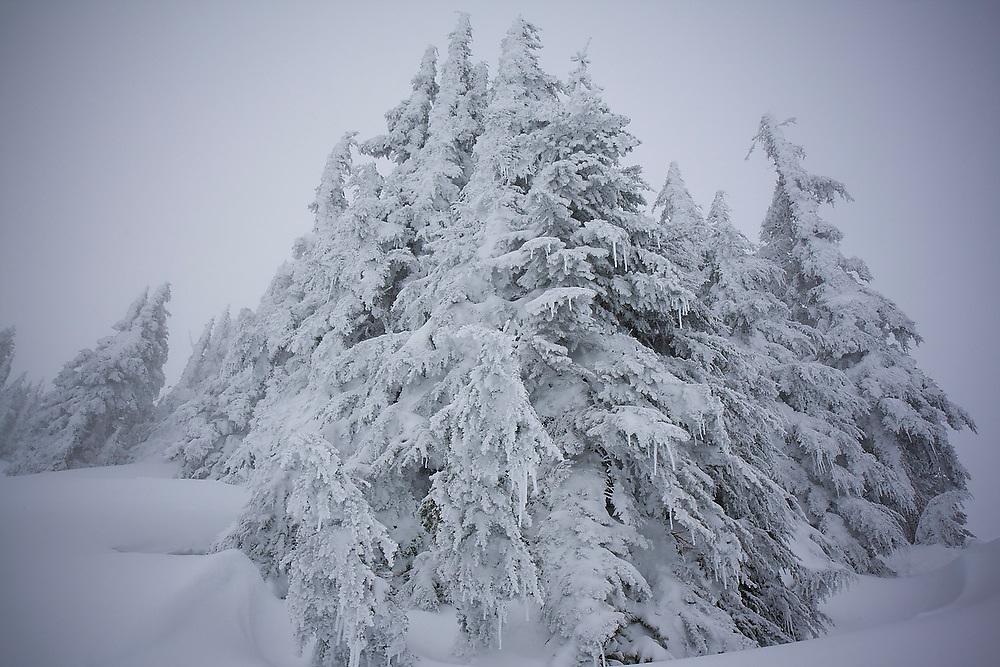 Frozen trees, Mount Baker-Snoqualmie National Forest, Washington.