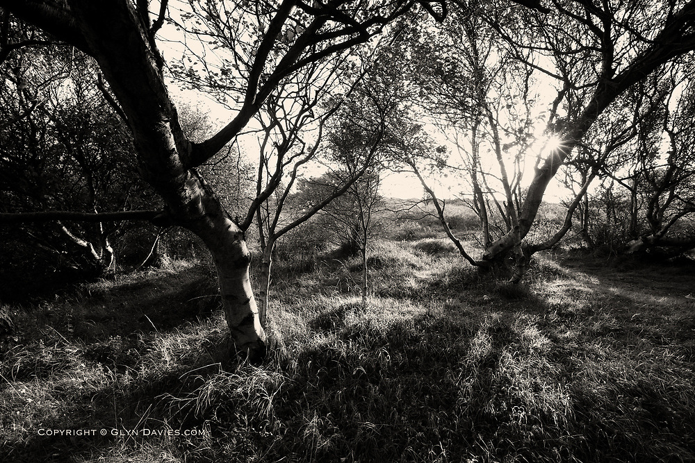 Beautiful evening sunlight filtering throiugh a tiny woodland on sand dunes near West Anglesey.
