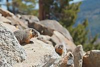 Yellow-bellied marmots, Marmota flaviventris. Near Silver Lake, Sierra Nevada, California