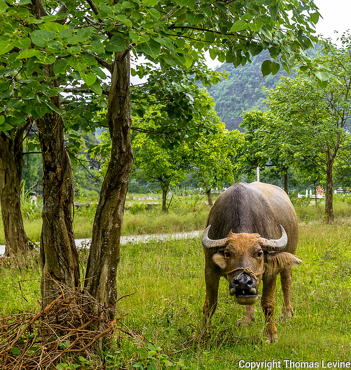 Water Buffalo looks straight ahead at Ninh Binh on the way from Tam Coc to Trang An. RAW to Jpg