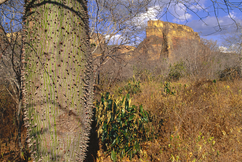 Caatinga Tree<br />Typical thorns and drought Resistant Water Storage Swollen Trunk<br />Caatinga Habitat.  Bahia State, NE BRAZIL.  South America<br />Threatened Habitat