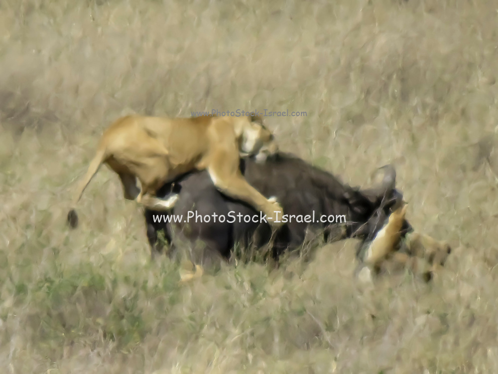 Soft focus image of a pride of lionesses attacking a Wildebeest (Connochaetes taurinus). Photographed in Serengeti National Park, Tanzania in September