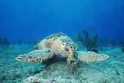 loggerhead sea turtle, Caretta caretta, eating spiny lobster, Panulirus argus, Bahamas ( Western Atlantic Ocean )