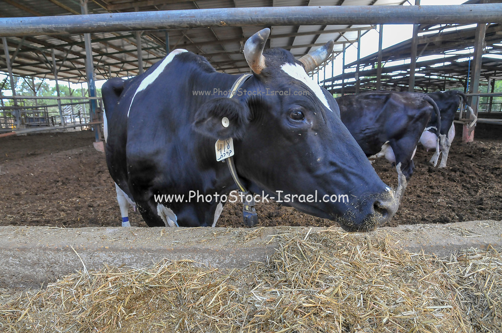cows in dairy farm the animals in a pen. Photographed at Kibbutz harduf, Israel