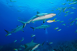 Caribbean Reef Sharks, Carcharhinus perezi, Yellowtail Snappers, Ocyurus chrysurus, and scuba divers, over coral reef, West End, Grand Bahamas, Atlantic Ocean