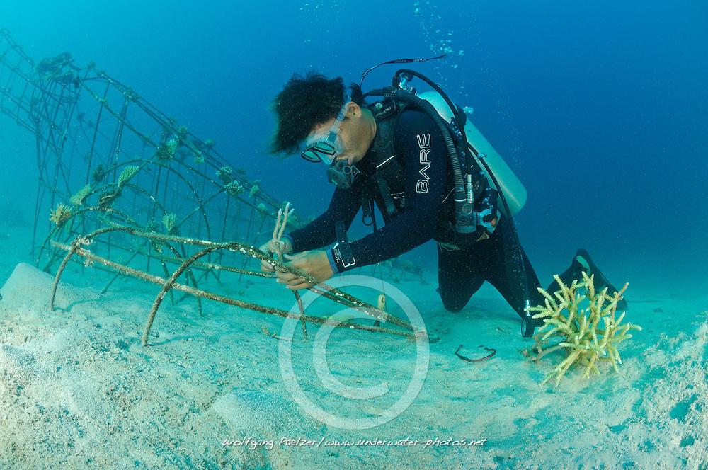 Global Coral Reef Alliance, Riff-Gaertner bindet abgebrochene Korallen auf Kuenstliches Riff, Reef gardener attaching corals to artificial reef,  Pemuteran, Bali, Indonesien, Indopazifik, Bali, Indonesia Asien, Indo-Pacific Ocean, Asia