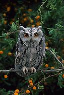 Western Screech Owl, Megascops kennicottii, in Desert Acacia; Sonoran Desert, Arizona