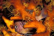 damselfish asleep at night in cup coral, Tubastraea micrantha, Palau ( Belau ), Micronesia ( Western Pacific Ocean )