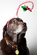 Dog Under The Mistletoe