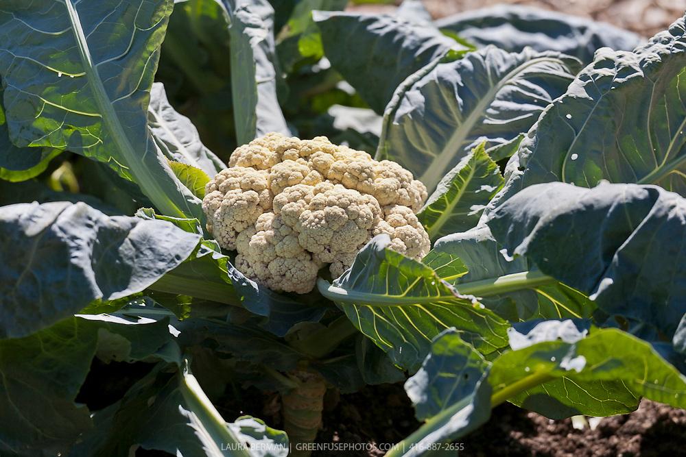 Cauliflower in the vegetable garden