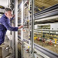 """Nederland, Vessem, 1 april 2016.<br /> klik een willekeurig pers- of nieuwsbericht aan, en je ziet inderdaad dat de term 'duurzaam' vaak verkeerd gebruikt wordt en alleen op dierenwelzijn slaat.<br /> De Brabantse pluimveehouder Marcel Kuijpers wil daar verandering in brengen door een korte keten te creëren zonder transport. <br /> In zijn huidige stal, in de buurt van het Brabantse dorp Vessem, is net een nieuwe lichting eieren binnengekomen. Met enige worsteling wurmen de natte, donzige kuikentjes zich uit hun schalen, om zich na een half uurtje uitrusten gretig op het voedsel en drinkwater te storten. Binnenin de stal is het meer dan 33 graden. Kuijpers loopt langs de 'patio'; vier rijen van zes lagen boven op elkaar, met in totaal 30.000 vleeskuikens.<br /> Zijn plan is – al meer dan tien jaar – om dat aantal uit te breiden naar bijna één miljoen. In het Limburgse Grubbenvorst wil hij een 'duurzame megastal' bouwen. De Raad van State moet echter nog een besluit nemen over de vergunningen. Gevoelig, want het zou de grootste kippenstal in Nederland worden. Gemiddeld hebben 'megastallen' ongeveer 150.000 kippen. Het plan stuit dan ook van begin af aan op hevige weerstand van actiegroepen en dierenwelzijnsorganisaties. <br /> Kuijpers zegt echter in volle overtuiging dat zijn project 'duurzaam en diervriendelijk' is. Naast de megastal moet een bio-energiecentrale, een broederij en een slachterij komen. Ook zit er even verderop een varkensbedrijf en het is de bedoeling dat de glastuinbouw gaat meedoen. De ondernemers verenigen zich samen onder de naam 'Nieuw Gemengd Bedrijf'. <br /> ,,Integrale duurzaamheid,"""" noemt Kuijpers het. De mest wordt gebruikt om de stallen te verwarmen en het transport valt weg doordat alles op één locatie zit. ,,Geen gesleep meer met kippen. Daardoor daalt het stressniveau, voelen de kippen zich beter en wordt het vlees lekkerder.""""<br /> Op de foto: Marcel Kuijpers en de beheerder van de kuiken proefstal bekijken, bestuderen de ontwikkeling"""
