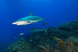 Caribbean Reef Sharks, Carcharhinus perezi, swimming over coral reef, West End, Grand Bahama, Atlantic Ocean