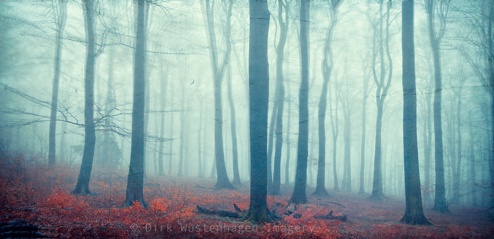 Panorama of a beech tree forest shrouded in fog.<br /> Prins: http://society6.com/DirkWuestenhagenImagery/mute-forest_Print<br /> <br /> or<br /> https://crated.com/art/150860/mute-forest-by-dirkwustenhagen?product=FP&size=12|25&frame=BF&edge=250MA
