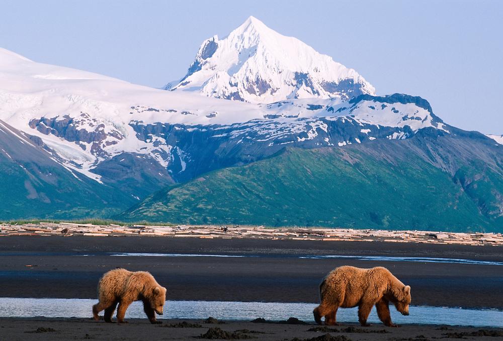 Alaska, Katmai National Park. Brown Bears.