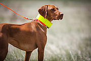 SHOT 5/9/20 1:09:54 PM - Various pointing breeds compete in the Vizsla Club of Colorado Licensed Hunt Test Premium at the Rocky Mountain Sporting Dog Club Grounds in Keenesburg, Co. (Photo by Marc Piscotty / © 2020)
