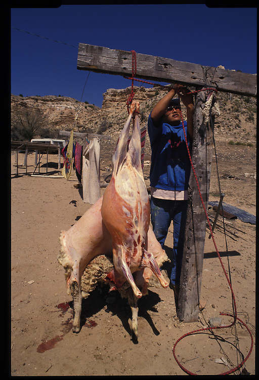 Edward Shepherd slaughters a sheep for meat to be used in a Native American Church ceremony blessing a shipment of peyote from Texas.  The ever-pragmatic Navajos blend elements of the peyote-based church's teachings with both Christianity and traditional beliefs.  1993 - Sunrise Springs, Arizona.