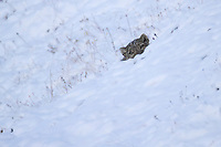 Snow leopard, Panthera uncia, 雪豹属, head looking up of snow covered mountains in Serxu, Garze Prefecture, Sichuan Province, China