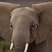 African Elephant, (Loxodonta africana)  Close-up portrait. Kenya. Africa.