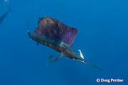 Atlantic sailfish, Istiophorus albicans, starts to light up in excited colors as it swims away with Spanish sardine prey in mouth, off Yucatan Peninsula, Mexico ( Caribbean Sea ) #2 in sequence of 3 images
