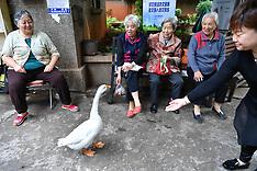 China: A pet goose Su Su has become a local celebrity - 27 July 2017