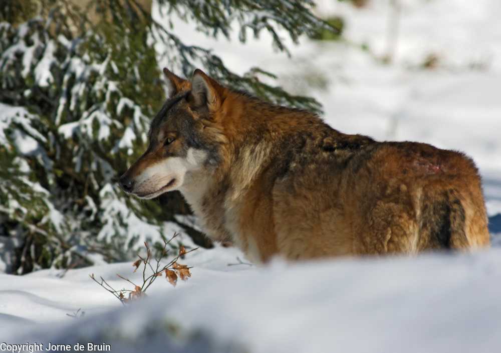 A wolf is standing in a snowy forest in the Bavarian National Forest Wildlife Park in Germany.