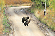 Grizzly bear sow and two cubs on mountain road in the autumn.