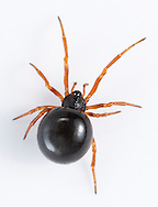Crustulina sticta - Female. Crustulinas are very small spiders that build an insubstantial scaffold webs very low in vegetation. They have a warty cephalothorax.  C. sticta is found in moist habitats but is uncommon and is Notable b.