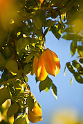 Carambola or starfruit grows in Puerto Rico