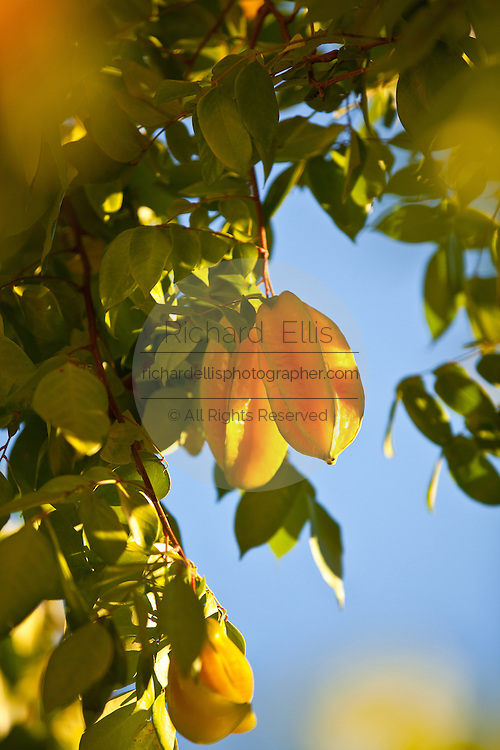 Carambola or starfruit grows in Puerto Rico