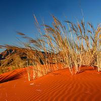 Africa, Namibia, Sossusvlei. Dune grass glows golden in the setting sunlight of the NamibRand desert.