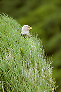 Bald eagle perched in deep grass on bluff, showing just its head, AK, © David A. Ponton