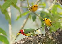 Male red-headed barbet, Eubucco bourcierii, and two golden tanagers, Tangara arthus goodsoni. Tandayapa Valley, Ecuador